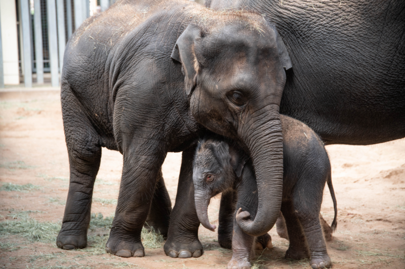 Elephant Calf Kai 31