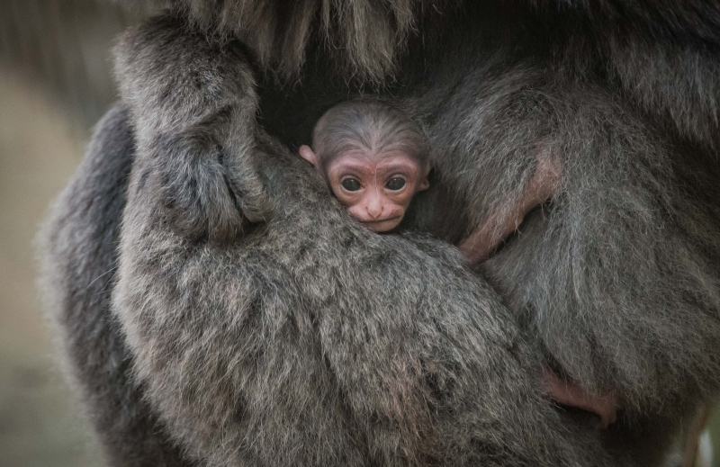 1. Baby silvery gibbon (5)