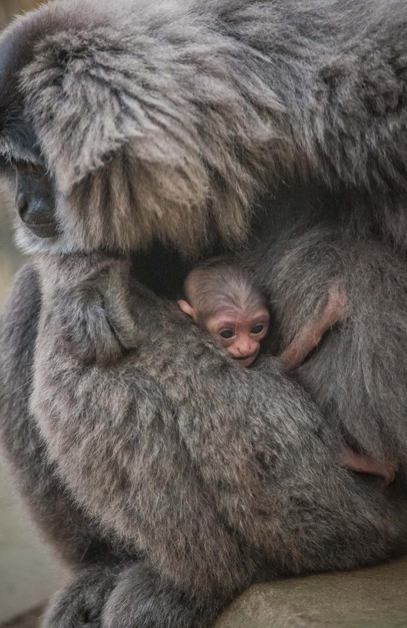 1. Baby silvery gibbon (6)