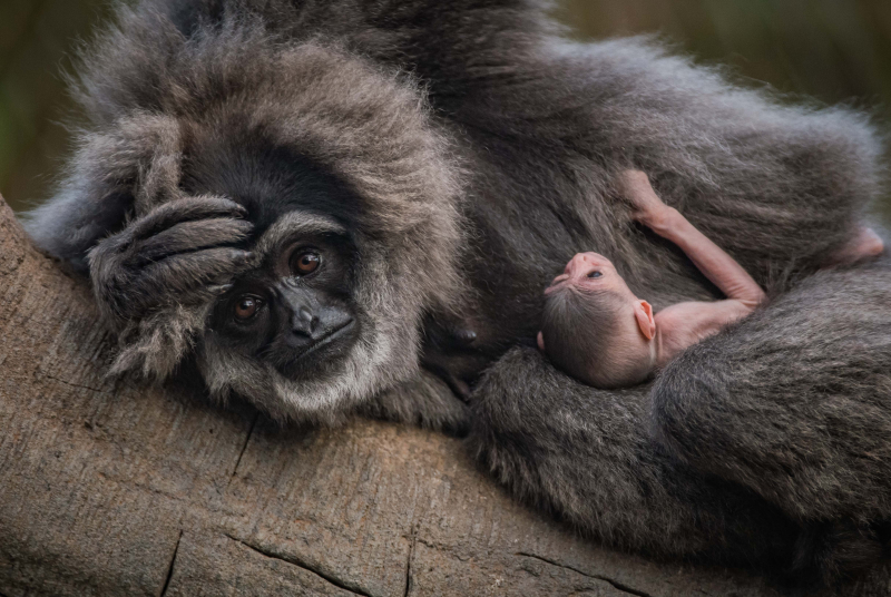 1. Baby silvery gibbon (6)