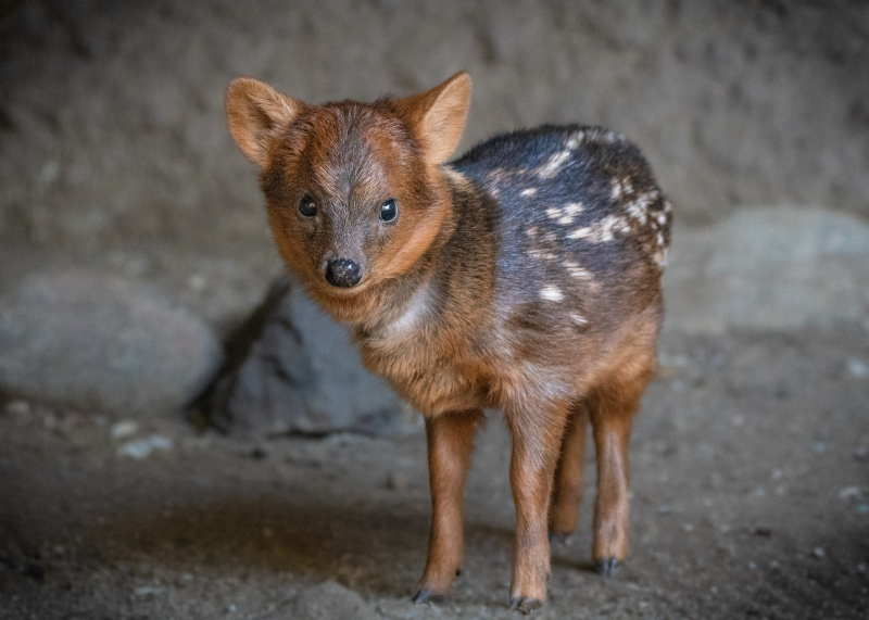 Pudu Baby Male JEP_7947