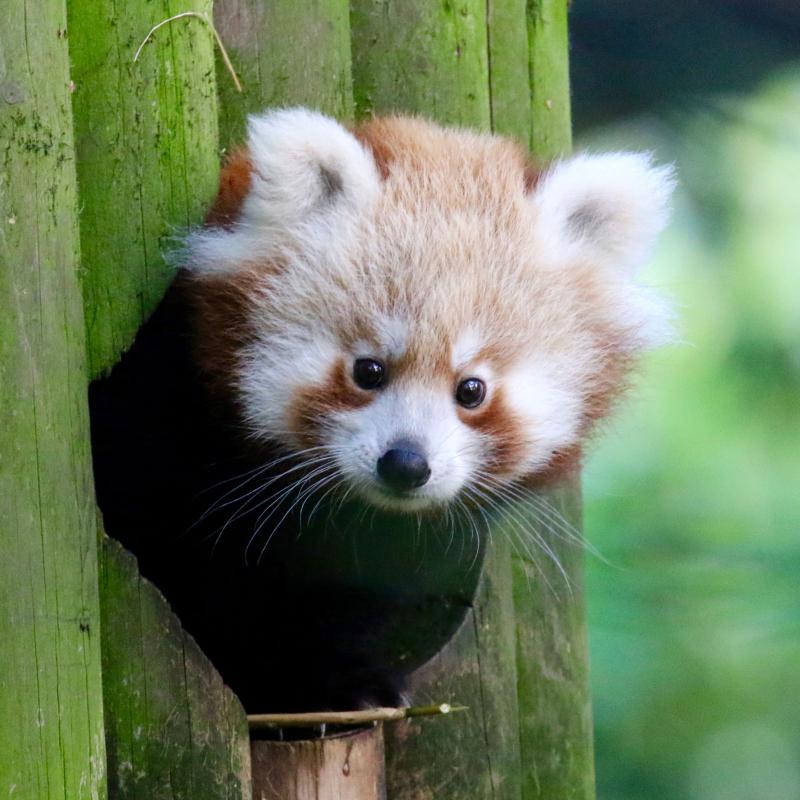 Red_Panda_