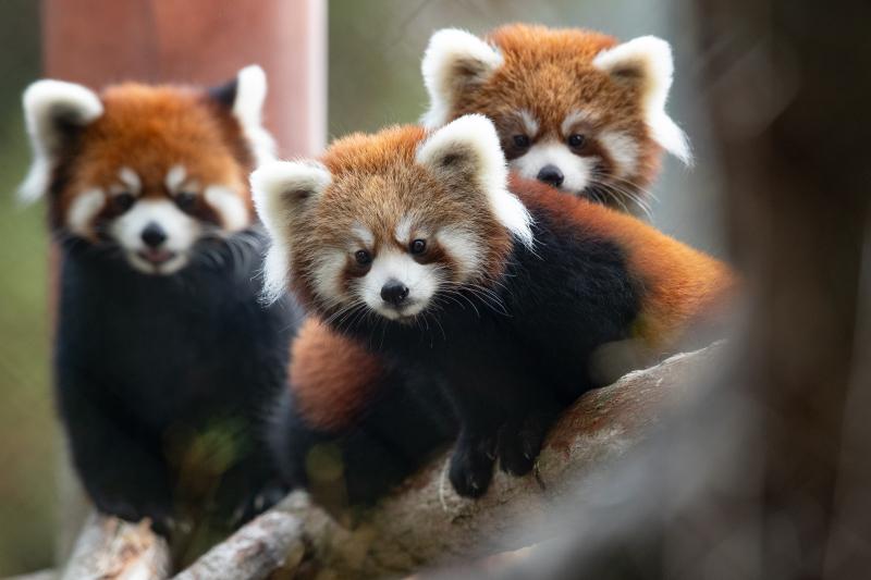 4_2018_10_19 red panda cubs-1