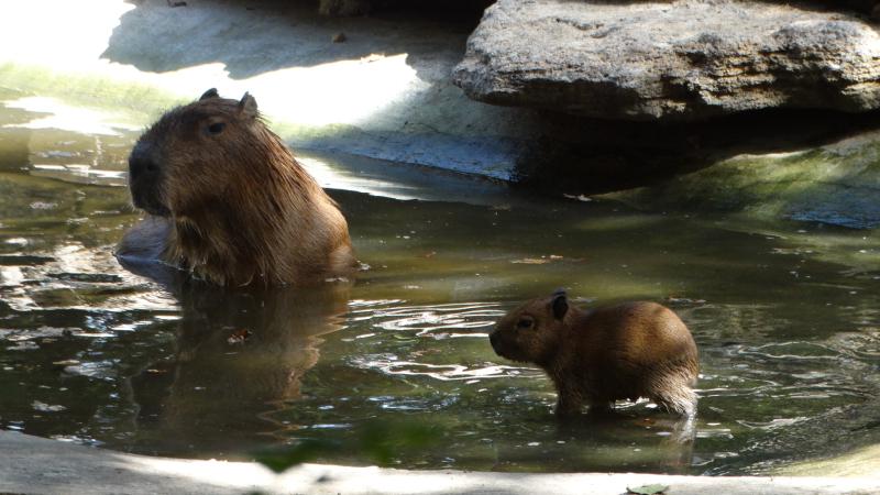 6_Capybara babies first swim (mum Belle pictured)