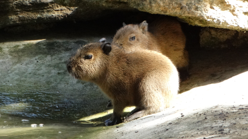 10_Capybara babies by the water (4)