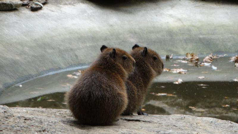 11_Capybara babies all fluffed up post-swim (2)