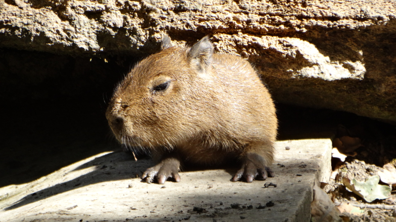 12_Capybara babies by the water (2)