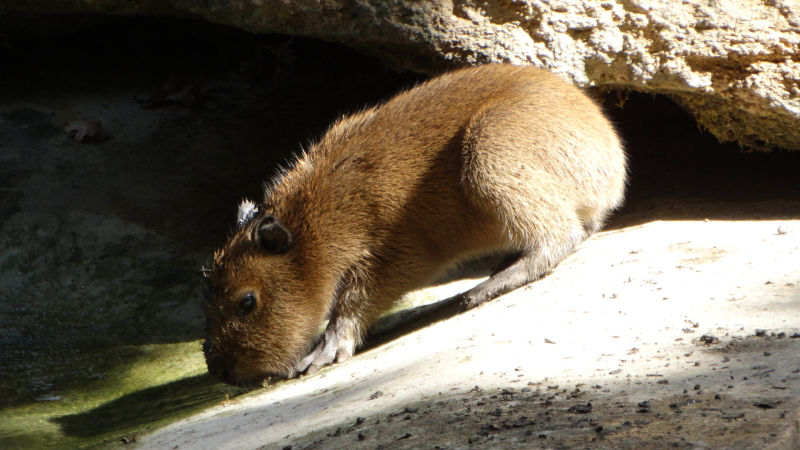 13_Capybara babies by the water (3)