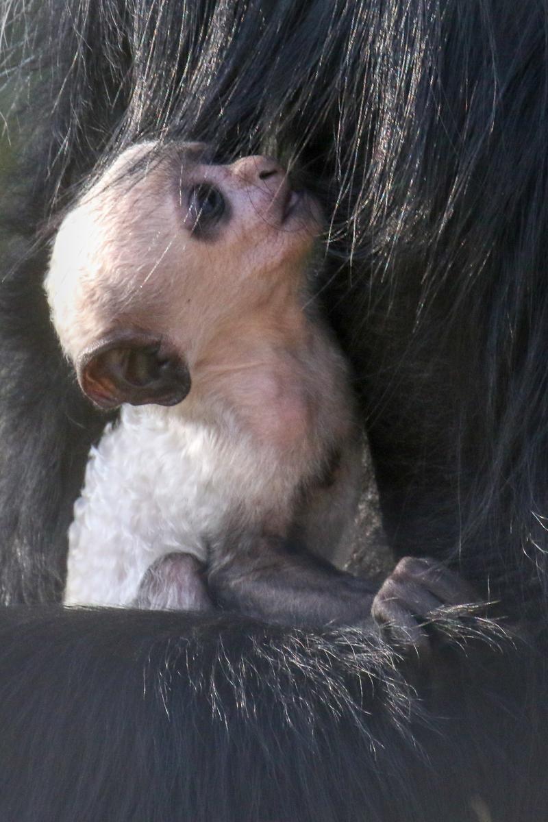 2_baby colobus