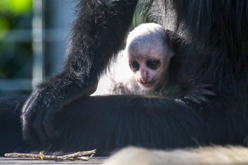 5_Baby Colobus 5 - Copy