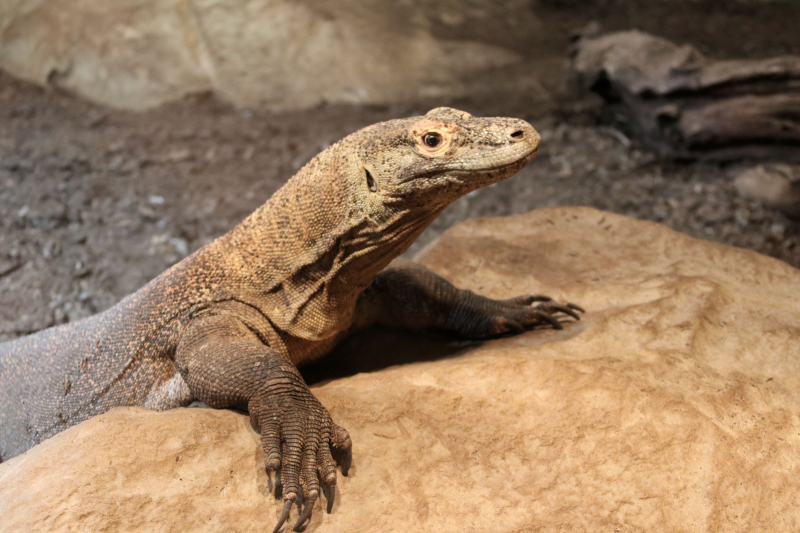 Komodo dragon mom_Tiga(2)