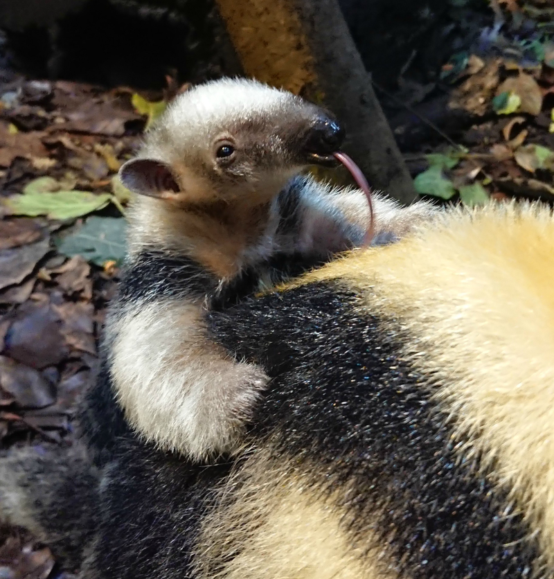 Paco on Poco's back  with mum Ria at ZSL London Zoo. 06.11.18