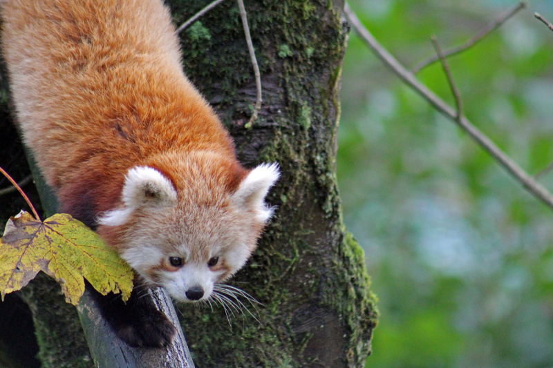 8_The International Union for the Conservation of Nature believes that the red panda is facing a very high risk of extinction.