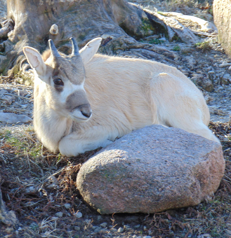 4_Addax_Anubis_Saint Louis Zoo_web