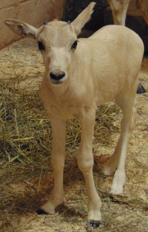 5_Addax_Felicity_Saint Louis Zoo_web