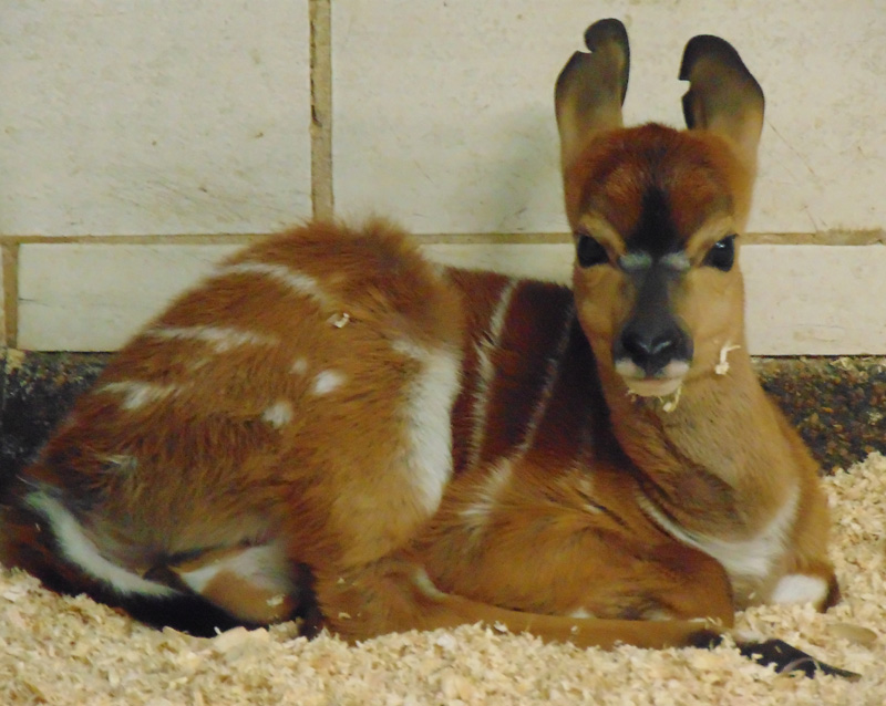10_Lowland nyala_Trixie_Saint Louis Zoo_web