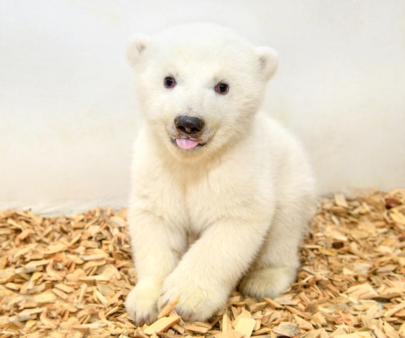 1_Erste Untersuchung_Eisbärennachwuchs_Tierpark Berlin_2019 (1)
