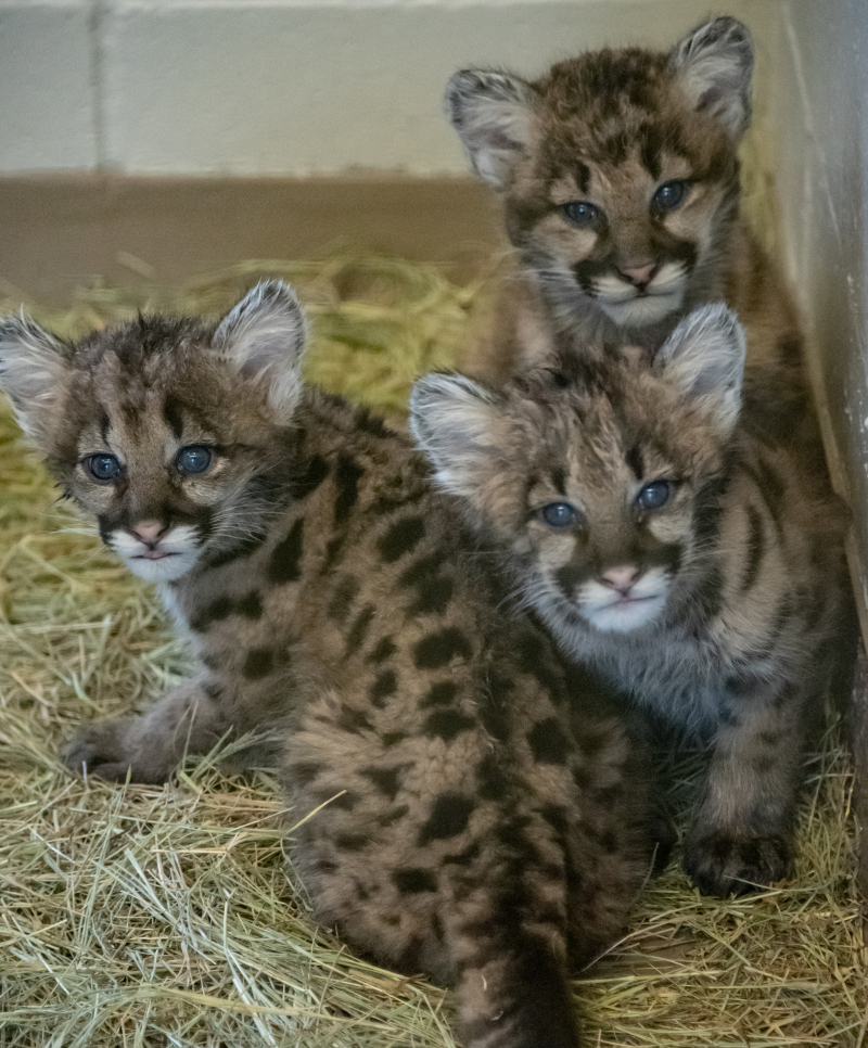 3_OKC Zoo Mountain lion cubs credit Jennifer D'Agostino