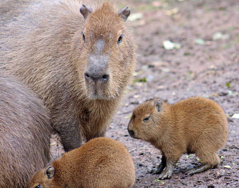 (1) Curator Raymond Robinson was delighted as he witnessed a third set of Capybara babies born this year.