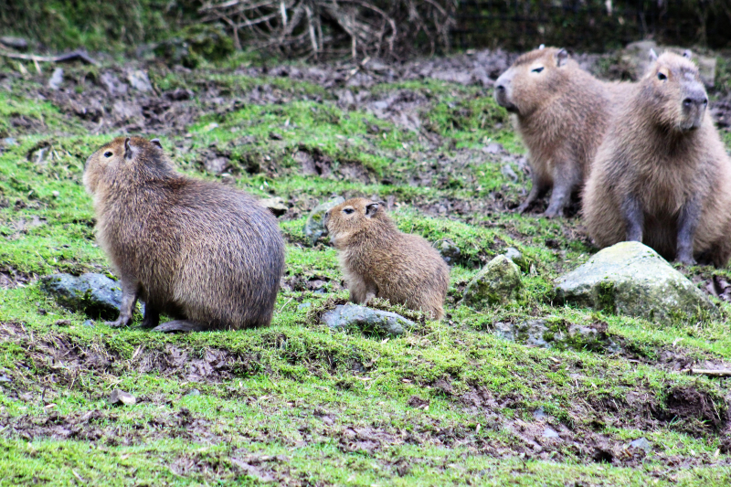 (3) The capybara is often referred to as a giant guinea pig.