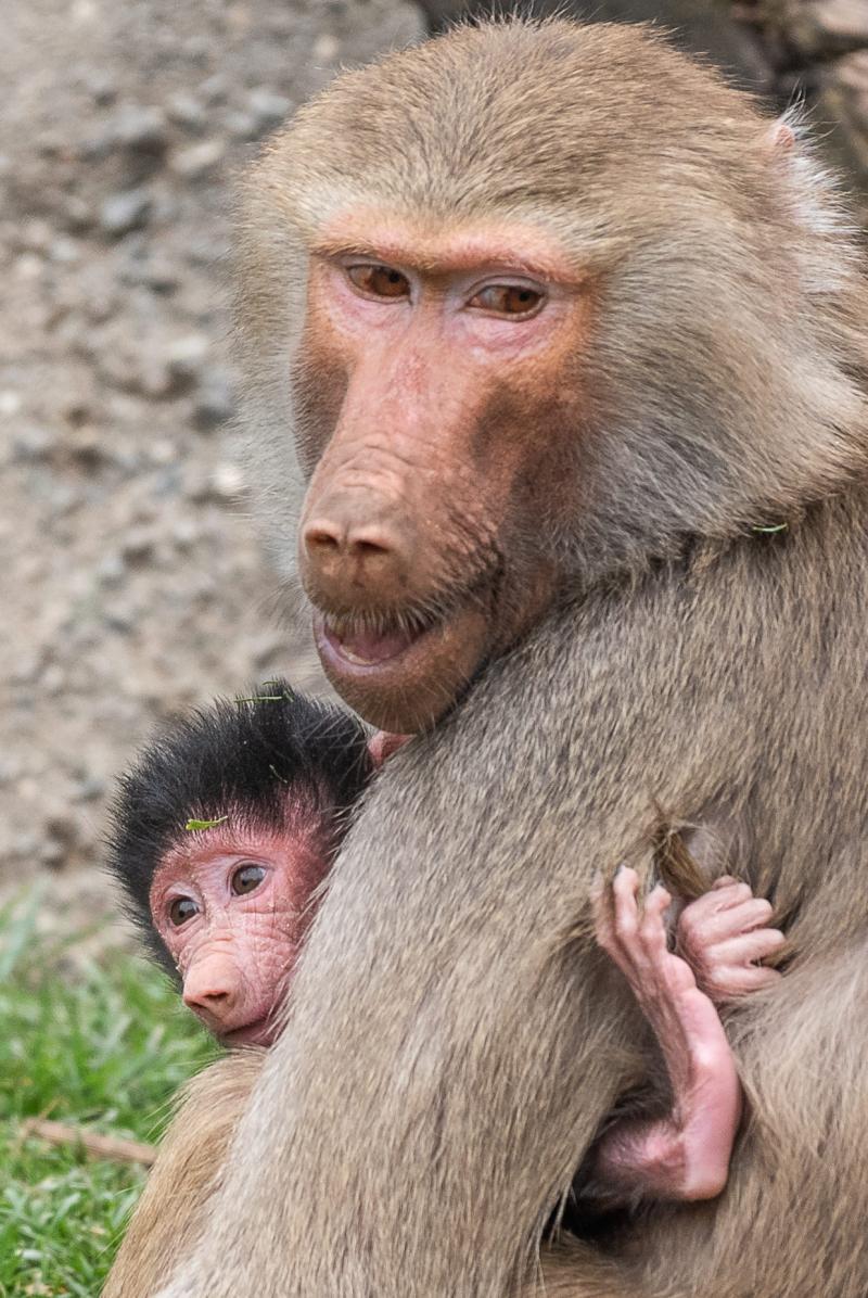 Baby Baboon born 20181103-3145