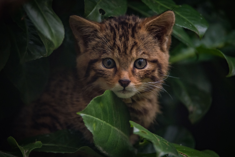 1_Britain's rarest mammal – the Scottish wildcat – has been born at Chester Zoo (35)