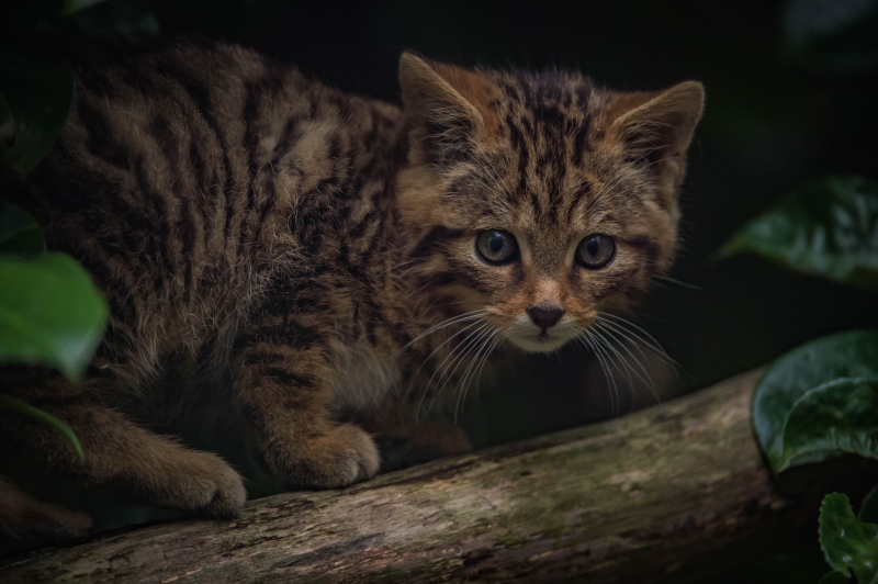 5_Britain's rarest mammal – the Scottish wildcat – has been born at Chester Zoo (39)