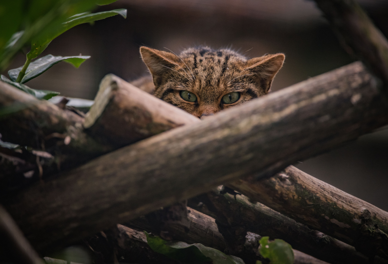 9_Britain's rarest mammal – the Scottish wildcat – has been born at Chester Zoo to mum Einich (17)