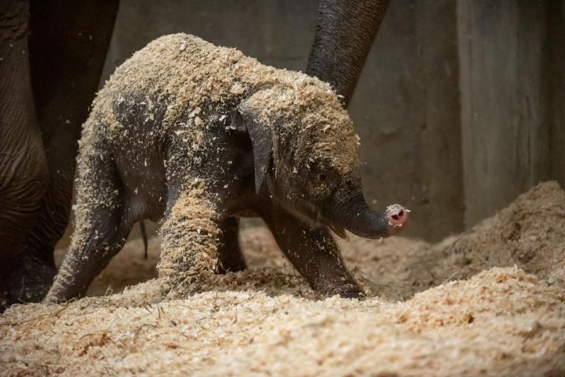 8_Asian Elephant Calf 0459 - Grahm S. Jones  Columbus Zoo and Aquarium