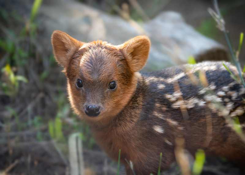 Pudu Baby Male JEP_7078