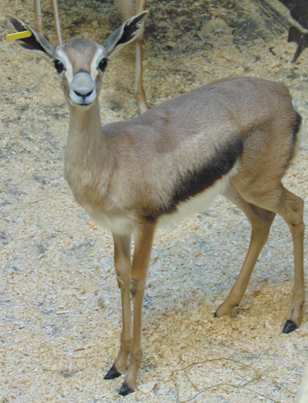 2_Speke's gazelle_Cranberry_Saint Louis Zoo_web