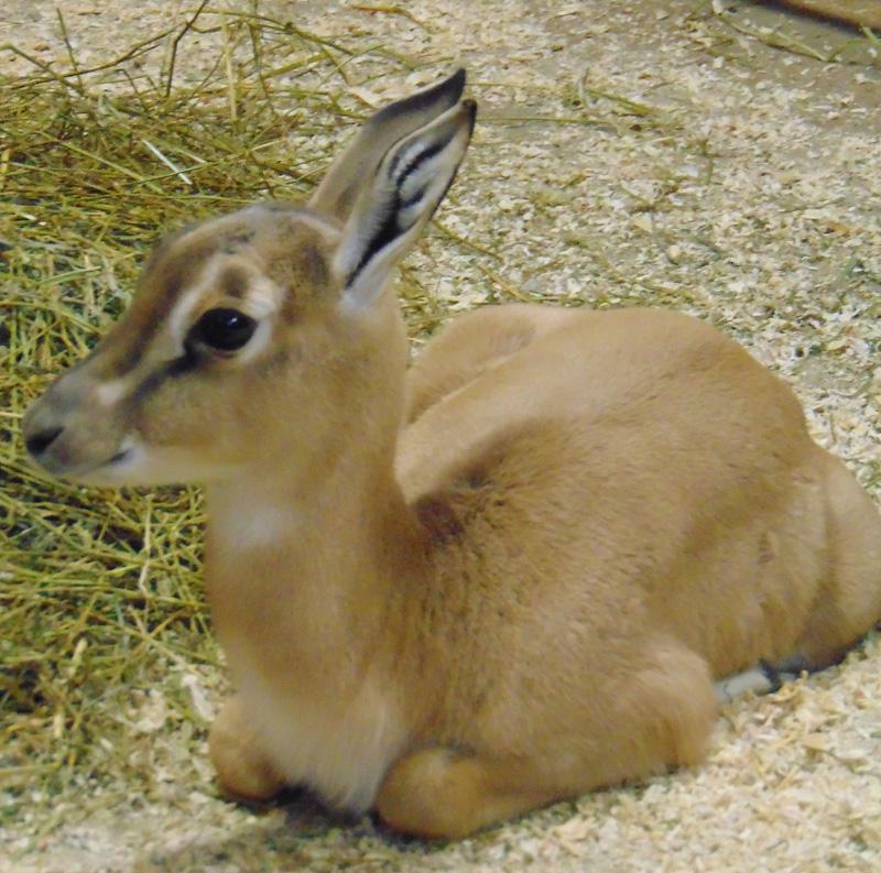 6_Soemmerring's gazelle_Kibir_Saint Louis Zoo_web