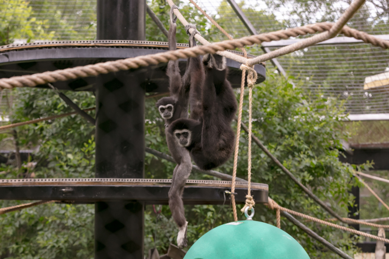 4_Assiniboine Park Zoo  White-Handed Gibbons  Maya and Samson