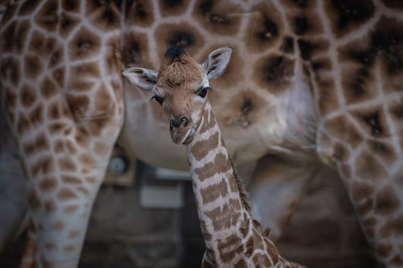 5_Rare giraffe calf born at Chester Zoo (4)