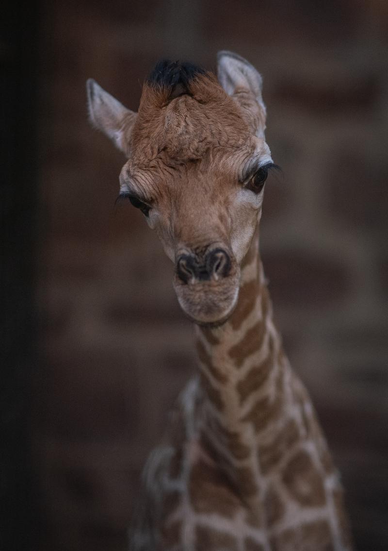7_Rare giraffe calf born at Chester Zoo (12)