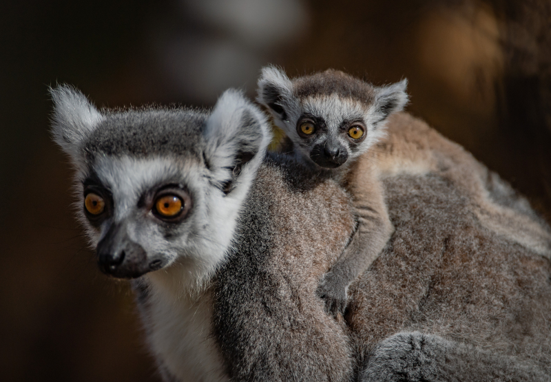 ! The first ring-tailed lemurs born in Chester Zoo's new Madagascar zone cling onto their mums  (22)