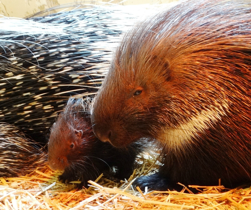 11 Porcupettes with mum Hannah (6)