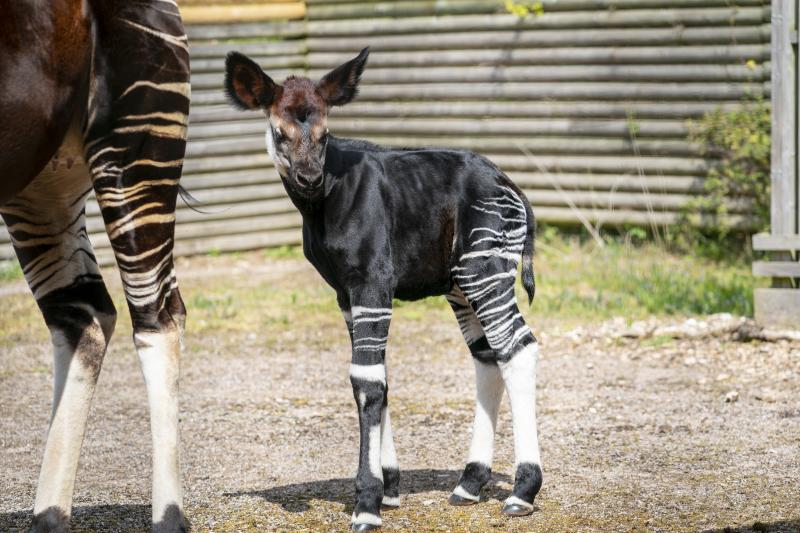 Zoo Photographer - Credit Jason Brown - Okapi Calf (21)