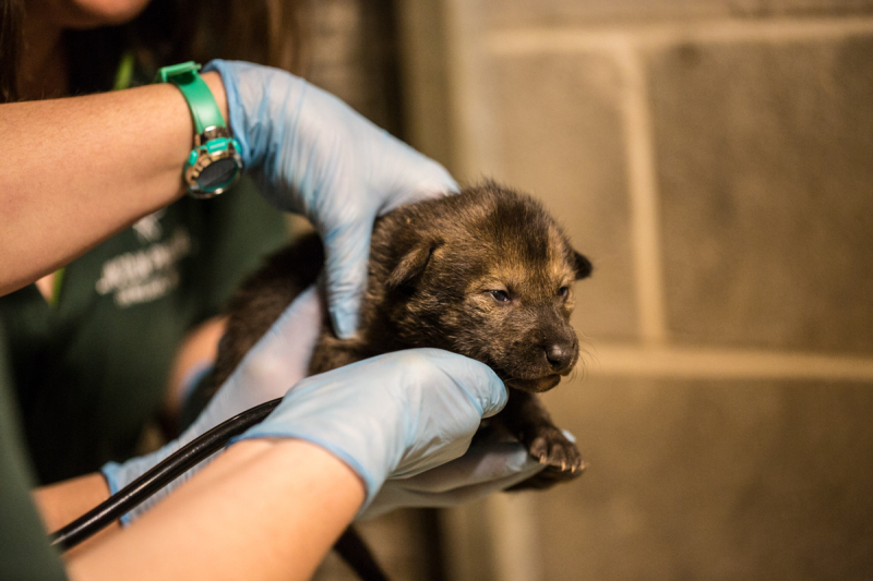 5_20190426_CB_red wolf pups-45
