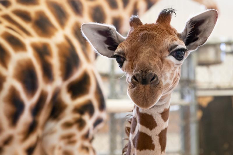 3_2019_05_02 baby giraffe