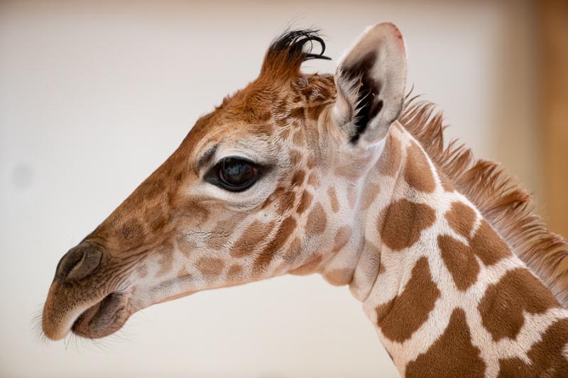 4_2019_05_02 baby giraffe-2