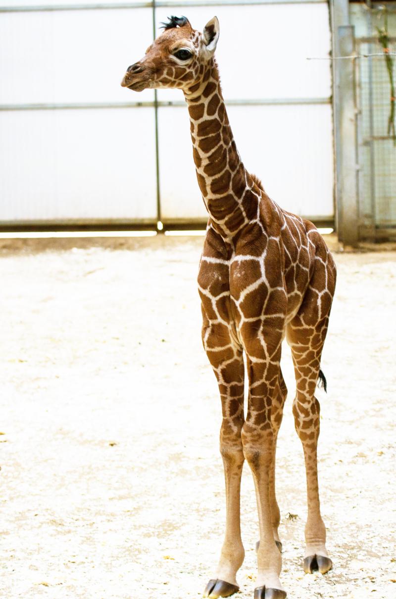 3_Newborn giraffe at ZSL Whipsnade Zoo (c) ZSL (7)