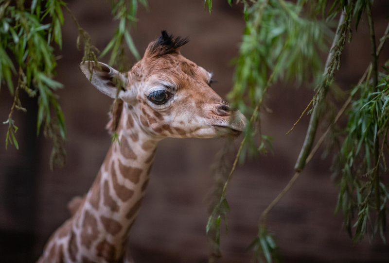 8_Look who just dropped in! Cameras capture the incredible moment a rare giraffe calf is born at Chester Zoo  (9)