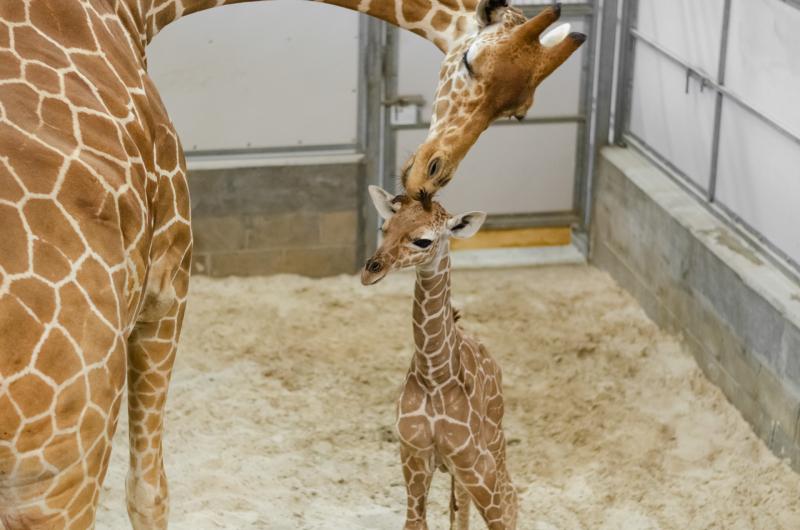 5_20190515_Giraffe_Newborn09