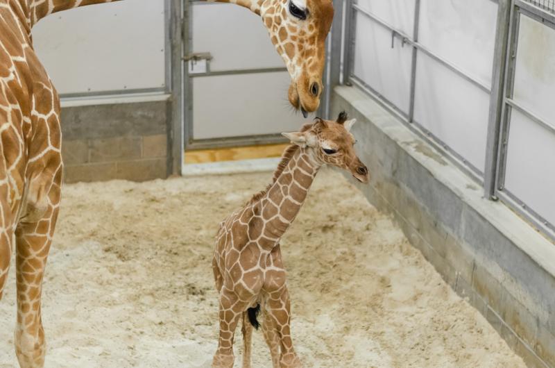 7_20190515_Giraffe_Newborn11