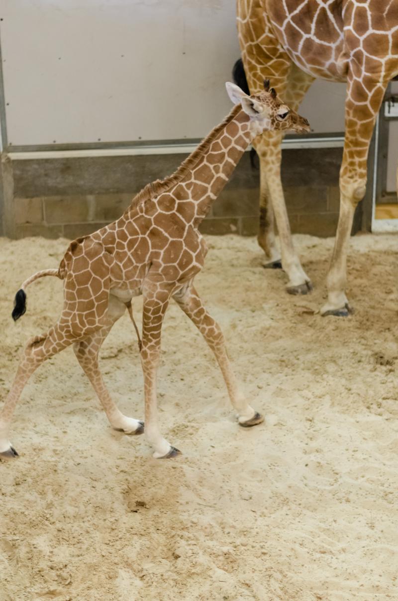 11_20190515_Giraffe_Newborn14