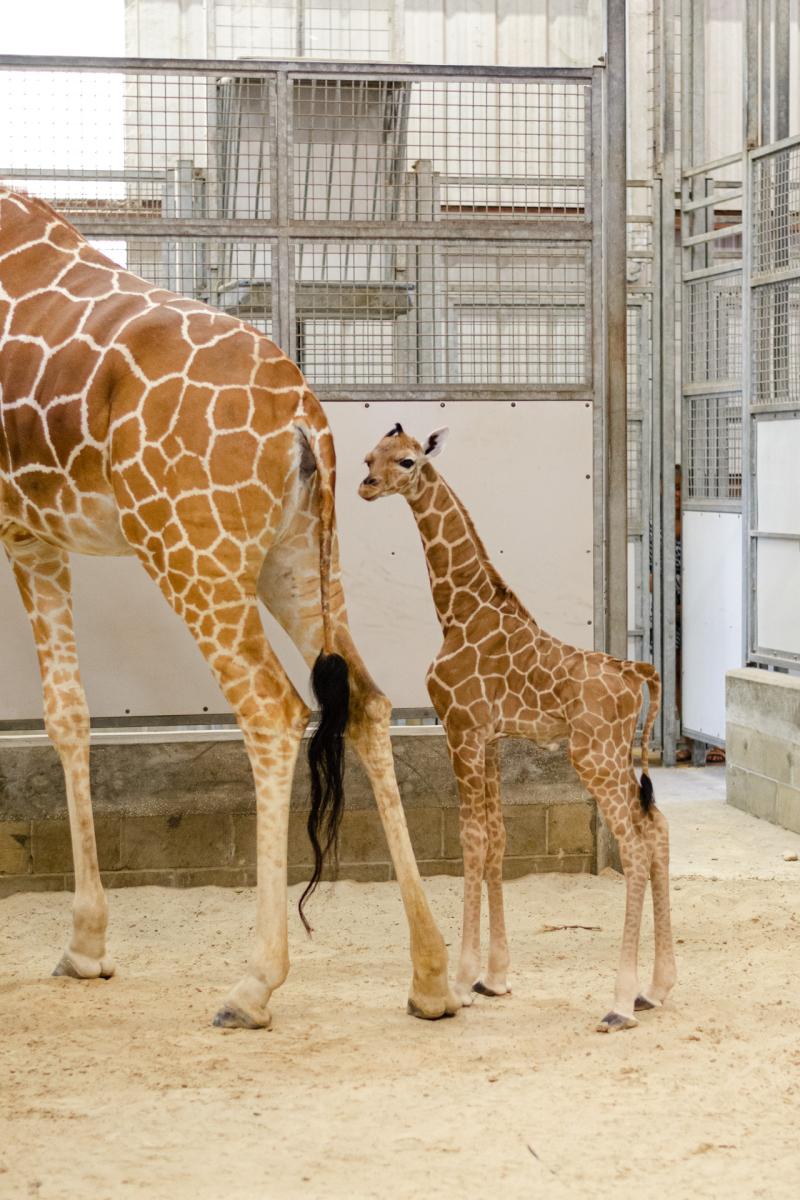 2_20190515_Giraffe_Newborn01
