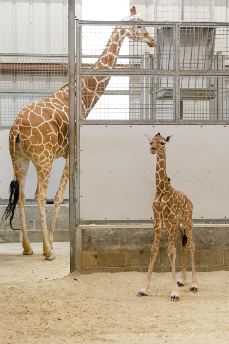 3_20190515_Giraffe_Newborn02