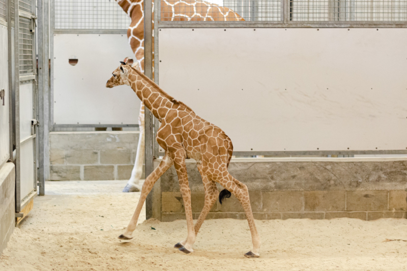 5_20190515_Giraffe_Newborn04