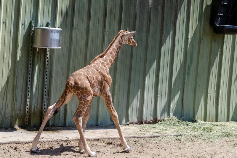 6_20190515_Giraffe_Newborn05